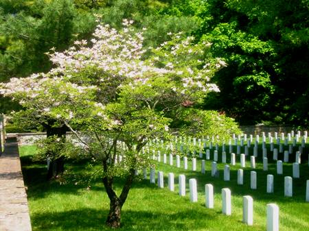 Dogwood tree in bloom at Staunton National Cemetery.